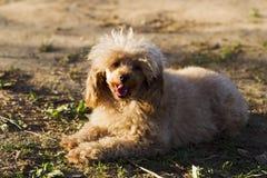 Цвет абрикоса пуделя игрушки собаки Стоковая Фотография