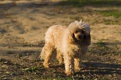 Цвет абрикоса пуделя игрушки собаки Стоковые Изображения RF