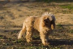 Цвет абрикоса пуделя игрушки собаки Стоковые Фотографии RF