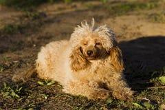 Цвет абрикоса пуделя игрушки собаки Стоковые Фото