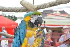 Цвет апельсина arra еды еды здоровий животных попугая Стоковые Фотографии RF