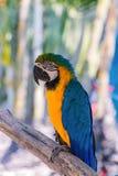 Цвет ары попугая красивый на дереве Стоковые Фото