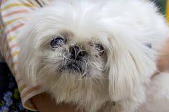 Цвет белизны Pekingese собаки Стоковое Фото