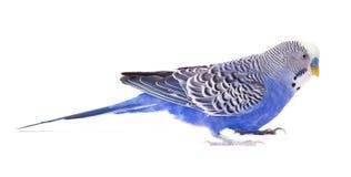 Цвет волнистого попугая голубой изолированный на белой предпосылке Изолированные волнистые попугайчики Стоковая Фотография