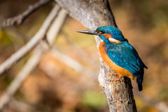 Цвет еды Kingfisher красивый голубой и коричневый Стоковые Фото