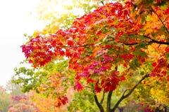 Цвет изменения дерева клена от зеленой к красному цвету в сезоне осени, Японии Стоковая Фотография