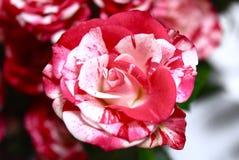 Цвет изумительной розы цветков красный вполне стоковые изображения rf