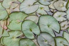 Цвет лист лотоса (пусковая площадка лилии или пусковая площадка лотоса) зеленый Стоковые Фотографии RF