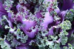 цвет капусты Стоковое Фото
