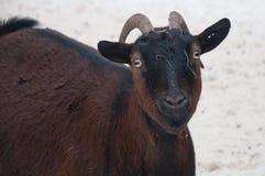 Цвет козы коричневый Стоковая Фотография
