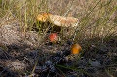 Цвет коричневого цвета гриба мухомора в луге Стоковые Фотографии RF