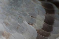 цвет коричневого цвета картины пера голубя предпосылки Стоковые Фото
