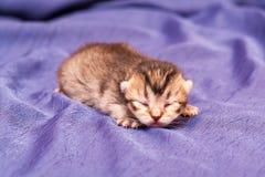 Цвет коричневого цвета котенка маленького младенца великобританский стоковая фотография