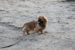 Цвет коричневого цвета Pekingese породы собаки стоковые изображения rf