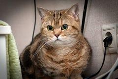 Цвет красивого великобританского черного золота кота мраморный с богатыми зелеными глазами сидит конец-вверх перед камерой стоковое фото