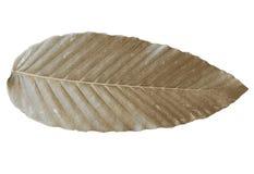 Цвет листьев Брауна сухой тропический изолированный на белых предпосылках стоковые фото