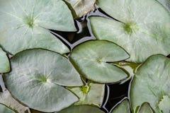 Цвет лист лотоса (пусковая площадка лилии или пусковая площадка лотоса) зеленый Стоковое Изображение