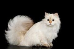Цвет мехового великобританского кота белый на изолированной черной предпосылке Стоковое Изображение