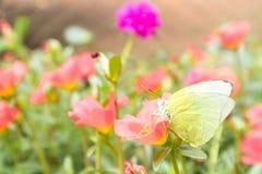 Цвет на розовом цветке в саде, селективный f бабочки желтый Стоковое Изображение RF