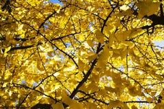 Цвет осени желт Стоковая Фотография