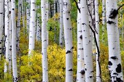 Цвет падения, деревья осины, Стоковая Фотография RF