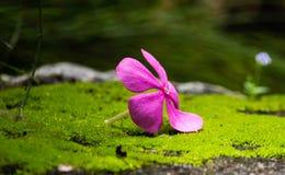 Цвет пинка цветка барвинка стоковые изображения rf