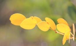 Цвет природы - листьев желтого цвета и зеленой предпосылки - естественное искусство Стоковая Фотография RF