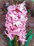 Цвет пурпура гиацинта цветка сада предпосылка естественная Hy Стоковые Изображения RF