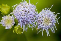 Цвет пурпура цветка Стоковая Фотография RF