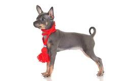 Цвет русского щенка собаки игрушки редкий Стоковое Фото