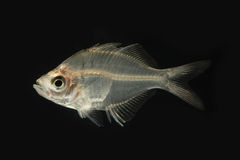 Цвет сиамских glassfish первоначально на черноте Стоковое Фото