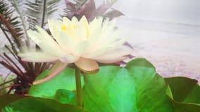 Цвет сливк лотоса и лилии видеоматериал