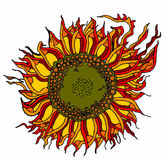Цвет солнцецвета Стоковое Изображение
