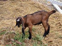 Цвет темного коричневого цвета молодой козы стоя и есть верхняя часть дерева на поле Стоковое Фото
