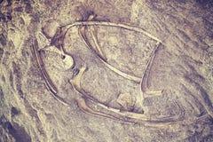 Цвет тонизировал скелет динозавра в национальном монументе динозавра Стоковая Фотография RF