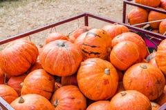 Цвет тыкв оранжевый с светом дня стоковые фотографии rf