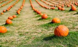 Цвет тыкв оранжевый с светом дня стоковая фотография