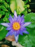 Цвет фиолета лотоса Стоковые Изображения RF