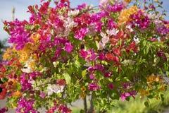Цвет цветка бугинвилии multi Стоковое фото RF