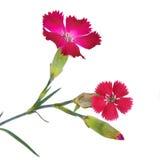 Цвет цветка гвоздики ветви малиновый красный Стоковое Фото