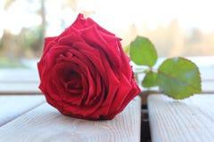 Цвет цветка красной розы сладостный на неделе снаружи Стоковые Фото