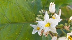 Цвет цветка torvum Solanum besutiful Стоковое фото RF