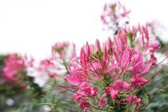 Цвет цветков паука красивый розовый в bloomin предпосылки природы Стоковые Изображения