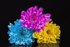 Цвет цветков, сини, розовых и желтых хризантемы, на черной предпосылке Стоковое Изображение RF