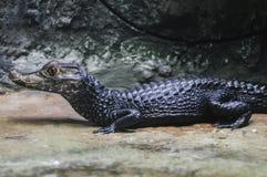 Цвет черноты крокодила карлика в зоопарке стоковая фотография rf