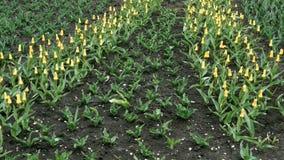 Первые цветки весны Цвет ярких красочных тюльпанов желтый растя на улице видеоматериал