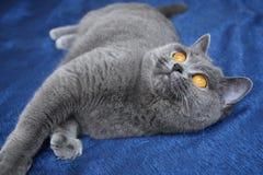 Цвет BRI женского великобританского SunRay Agidel кота shorthair голубой апельсин наблюдает стоковая фотография