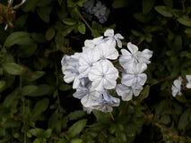Цвет Flor blanco marfil/белый цветок Стоковая Фотография