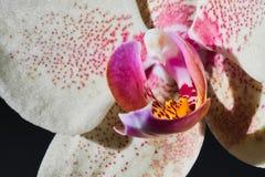 Цвет Phalenopsis орхидеи мини белый розовый Стоковое Изображение