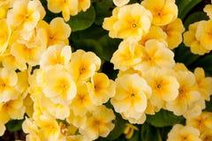 Цвет Primula цветков яркий желтый Стоковое фото RF